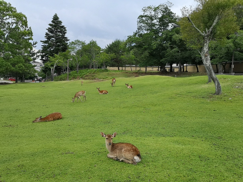 todaiji02 Nara-奈良小旅遊 世界文化遺產 東大寺&春日大社 搶食仙貝的小鹿亂撞