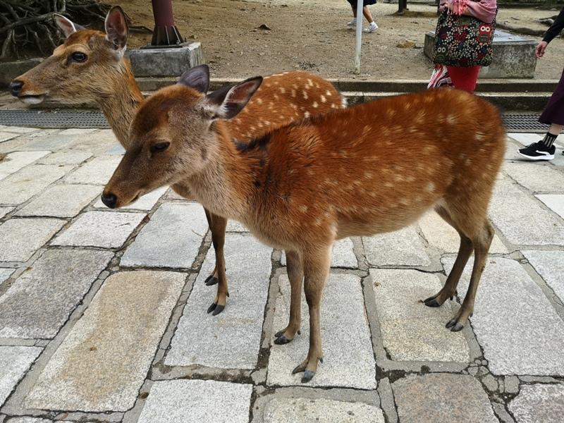 todaiji24 Nara-奈良小旅遊 世界文化遺產 東大寺&春日大社 搶食仙貝的小鹿亂撞