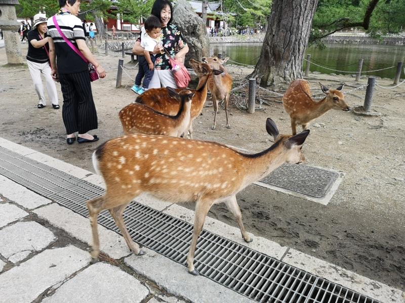 todaiji26 Nara-奈良小旅遊 世界文化遺產 東大寺&春日大社 搶食仙貝的小鹿亂撞