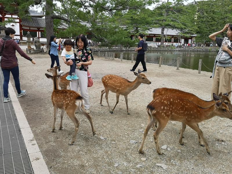 todaiji28 Nara-奈良小旅遊 世界文化遺產 東大寺&春日大社 搶食仙貝的小鹿亂撞
