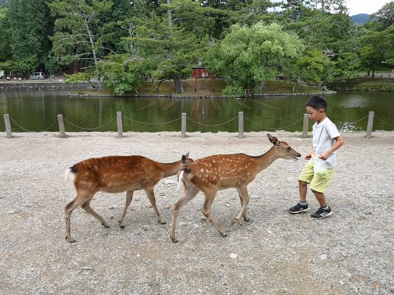 todaiji29 Nara-奈良小旅遊 世界文化遺產 東大寺&春日大社 搶食仙貝的小鹿亂撞
