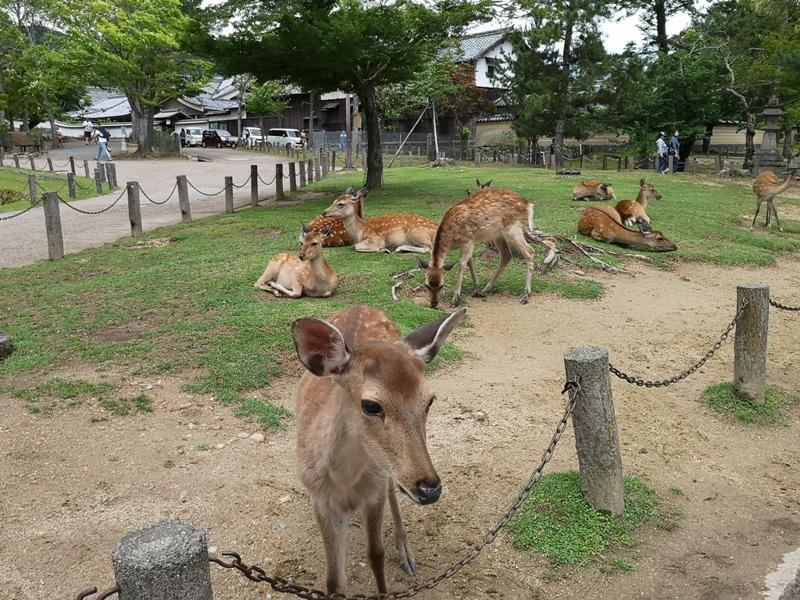 todaiji30 Nara-奈良小旅遊 世界文化遺產 東大寺&春日大社 搶食仙貝的小鹿亂撞