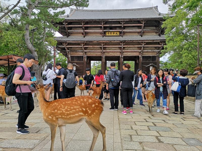 todaiji35 Nara-奈良小旅遊 世界文化遺產 東大寺&春日大社 搶食仙貝的小鹿亂撞