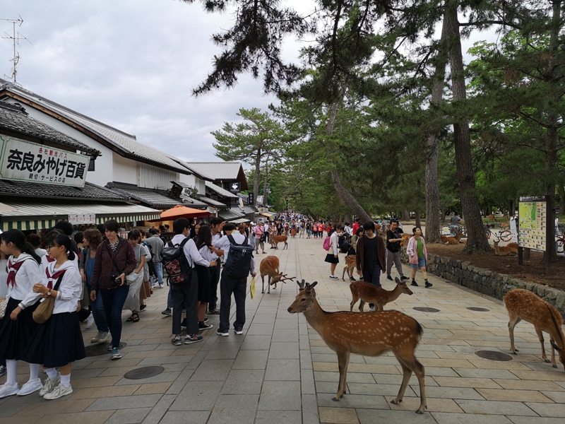 todaiji36 Nara-奈良小旅遊 世界文化遺產 東大寺&春日大社 搶食仙貝的小鹿亂撞