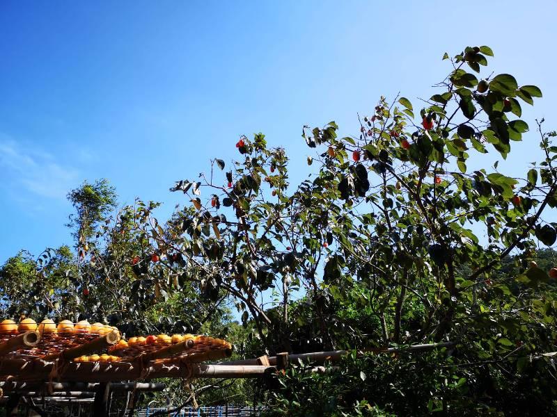 xinpu0133 新埔-味衛佳 北台灣秋天美麗的風景 好吃好玩好好拍的柿餅
