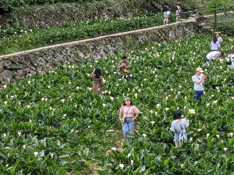 chuzihumapp05 陽明山-竹子湖 春天最美的白色浪漫 滿山谷的海芋香