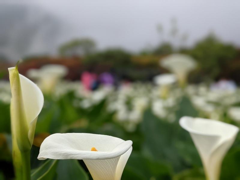 chuzihumapp14 陽明山-竹子湖 春天最美的白色浪漫 滿山谷的海芋香