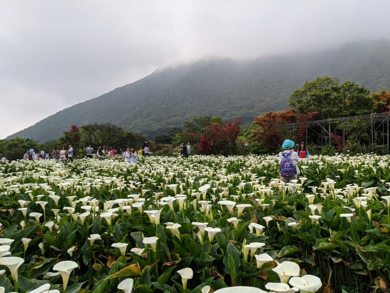 chuzihumapp15 陽明山-竹子湖 春天最美的白色浪漫 滿山谷的海芋香