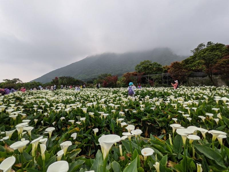 chuzihumapp16 陽明山-竹子湖 春天最美的白色浪漫 滿山谷的海芋香