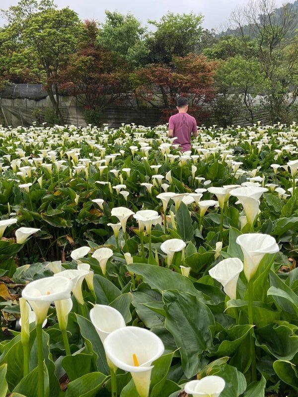 chuzihumapp19-rotated-e1617893025726 陽明山-竹子湖 春天最美的白色浪漫 滿山谷的海芋香